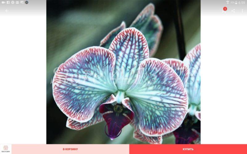 Орхидея ,Бонсай.