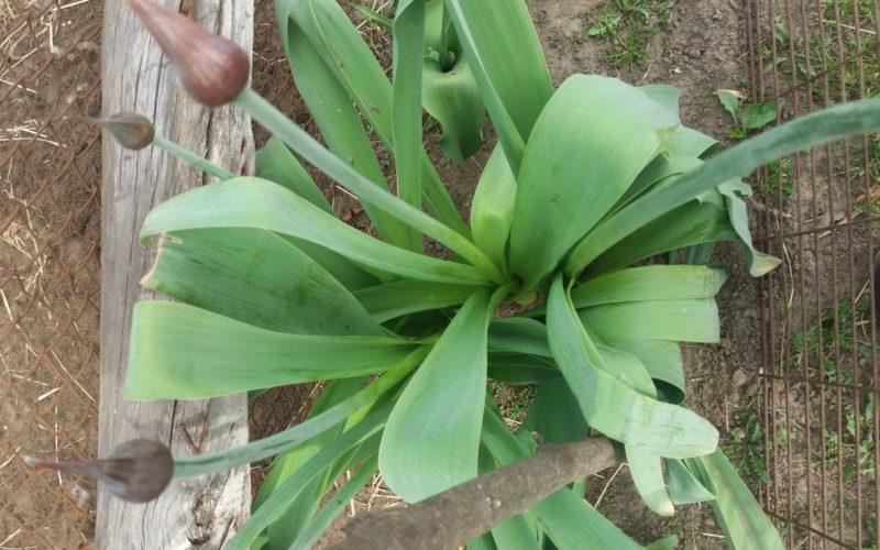 зеленое растение со стрелками, листья по вкусу напоминают чеснок