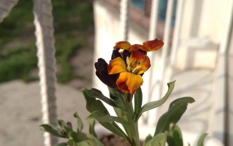 Садовый цветок с желто-кричневыми цветками