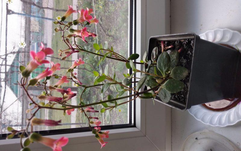 Домашнее растение, с розовыми колокольчиками