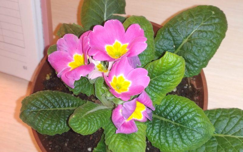Розовые цветы с желтой серединой