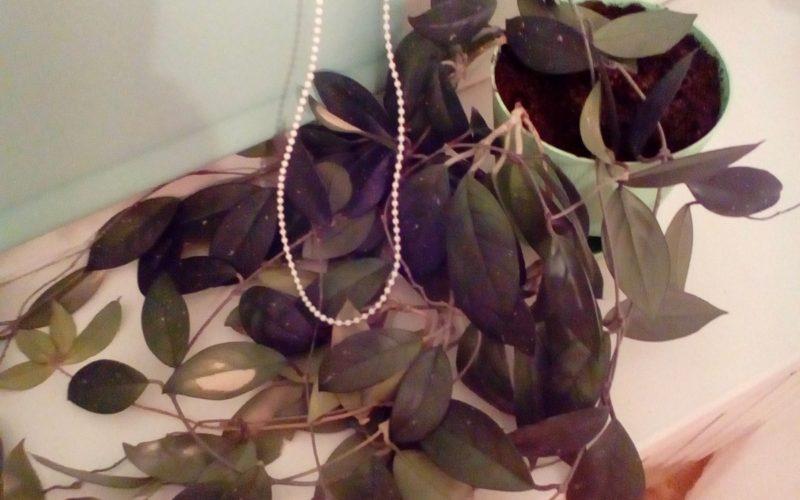 Растение с плотными листьями