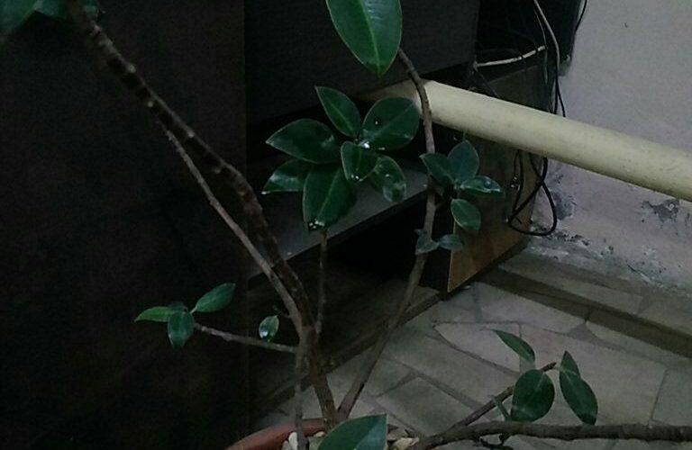 Здравствуйте. Помогите определить растение.