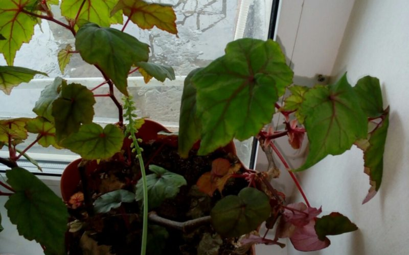 Растение комнатное с нежно розовыми цветами