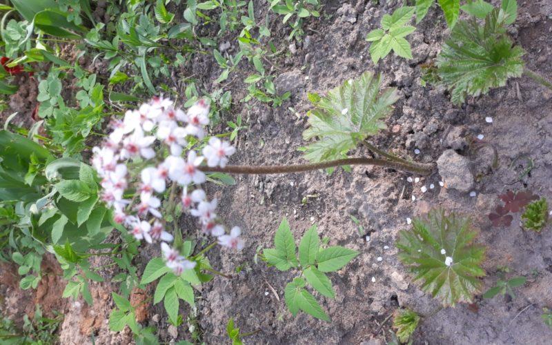 Очень интересные листья, растение многолетник скорее всего