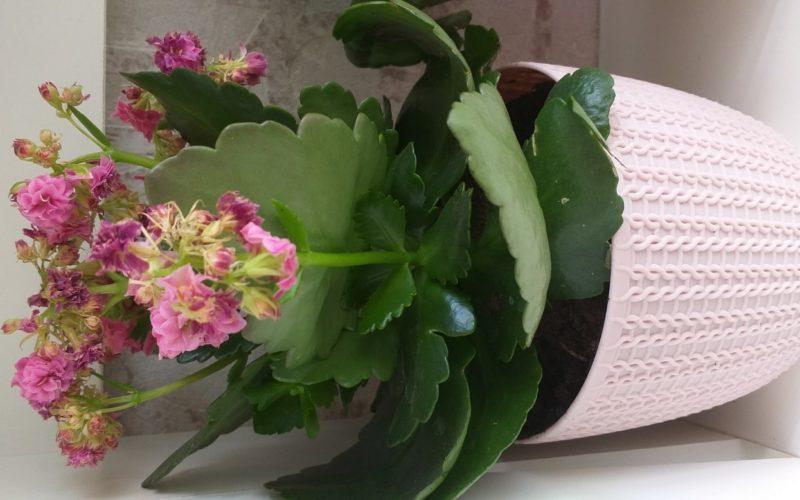 Растение с восповыми листьями и цветами