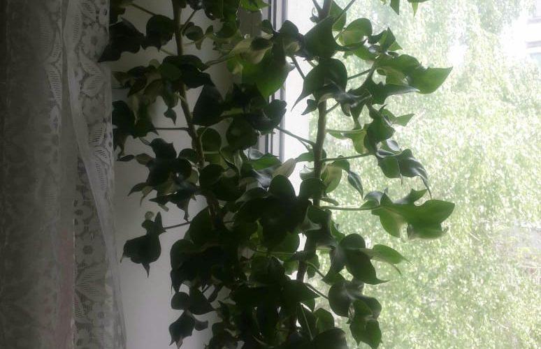 Зелёное растение,листья похожи на листья плюща.