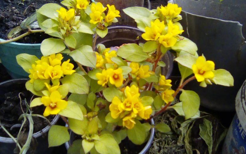 Зеленое растения с желтыми цветами