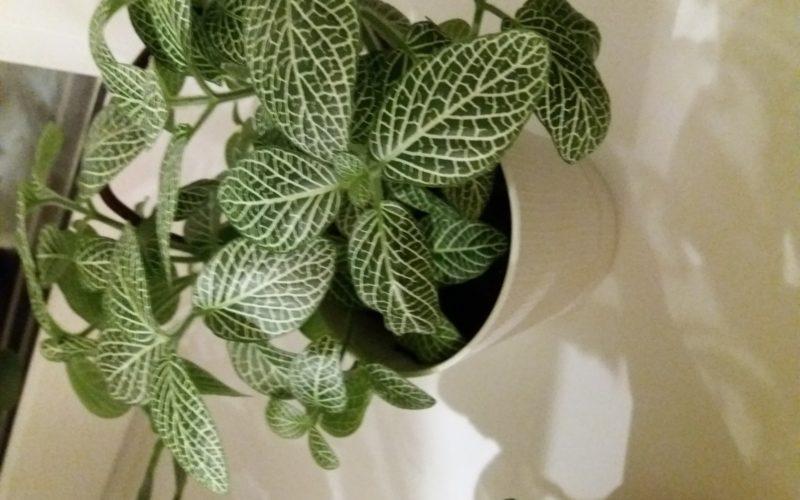 Зеленый с полосатыми листьями