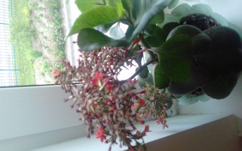 Зеленое растение с оранжевыми цветками