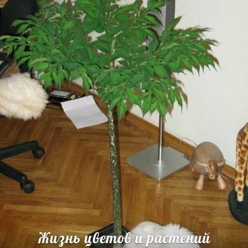 комнатное дерево с полым стеблем