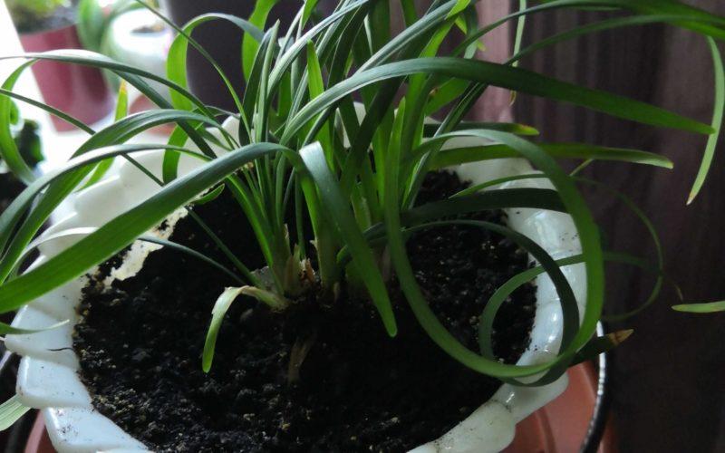 Зеленое растение с плоскими длинными листьями