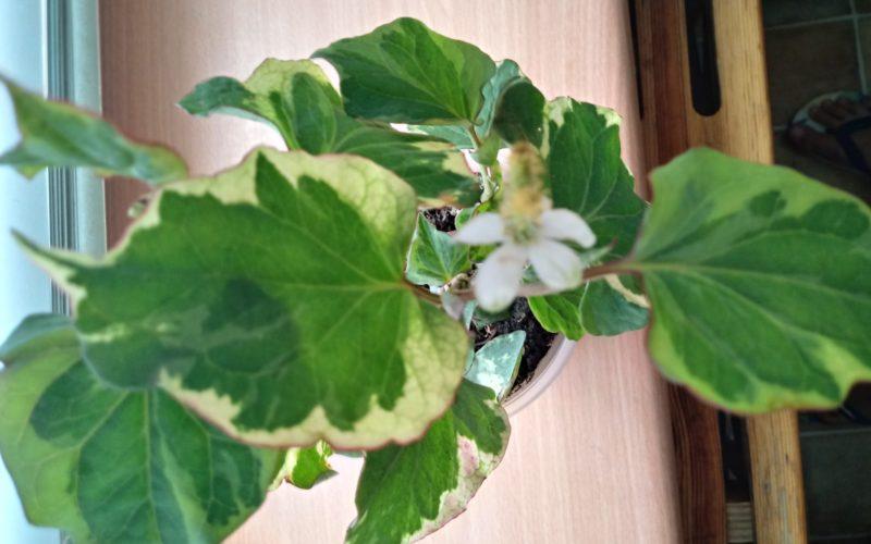 Зеленовато-белые листки с белыми цветами