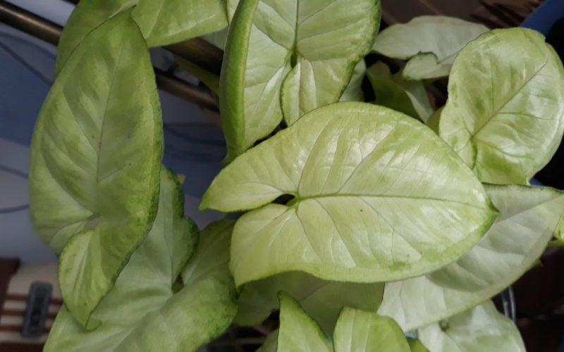 Комнатное растение с зелёными листьями