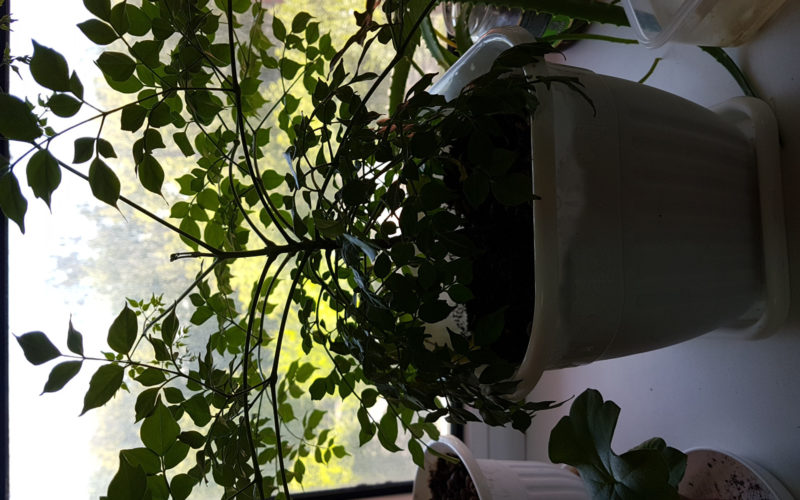 Зелёное растение с множеством листочков