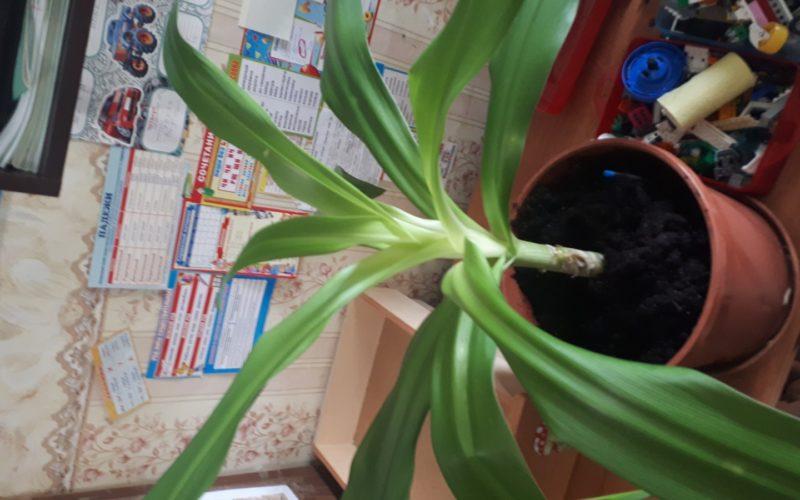 Травенистое растение длинными листьями