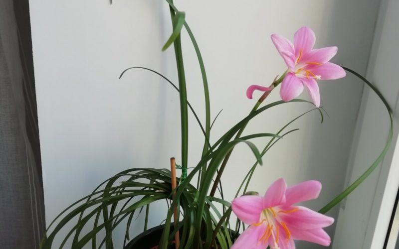 Комнатной растение с розовыми цветами