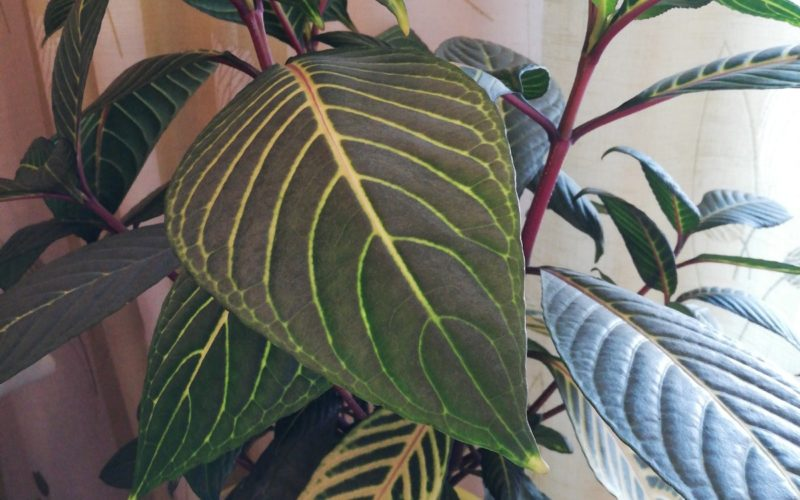 Зелёное растение с крупными листьями