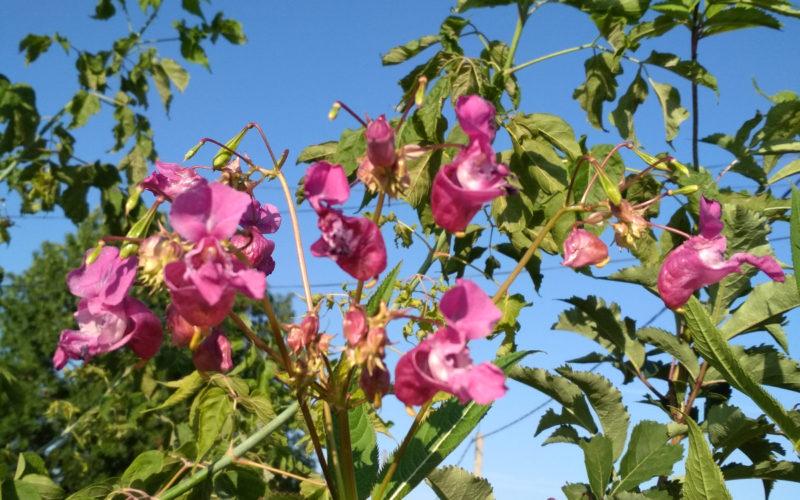 зеленое рпстение с розовыми цветами