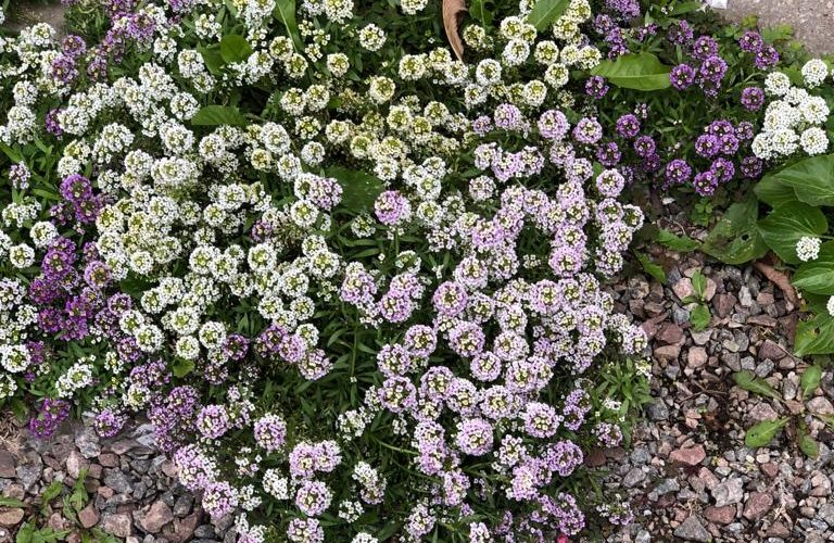Зелёное растение с соцветием зонтик