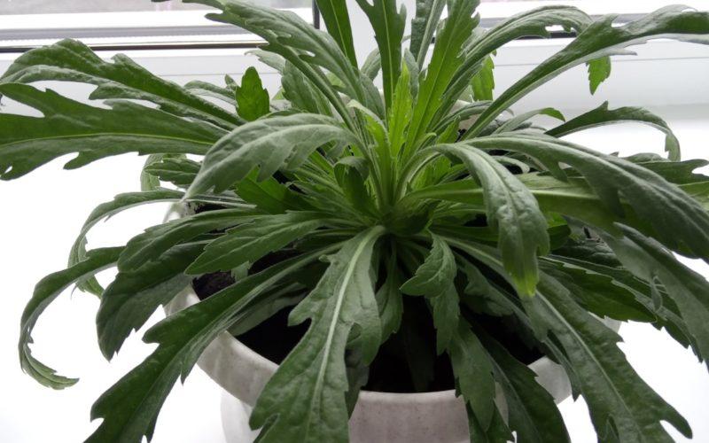 Зелёное растение ч длинными фигурными листьями