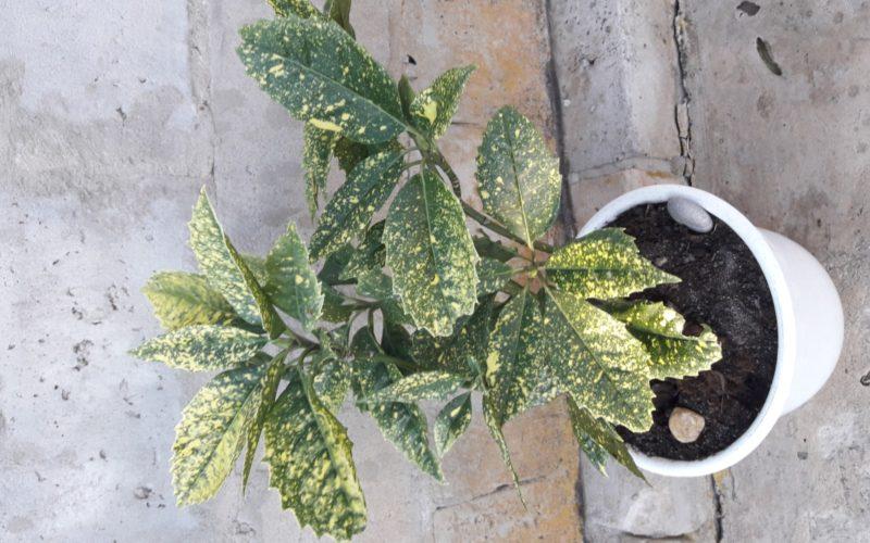 Зеленое растение с желтыми пятнами