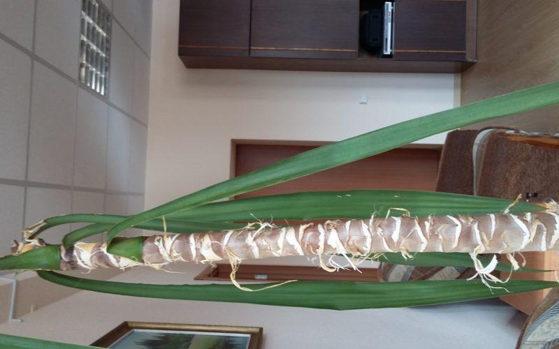 растение, похожее на пальму