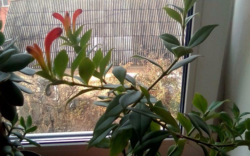 Комнатное кустарниковое листья ланцевидные гладкие цветки оранжевой красные трбчатые