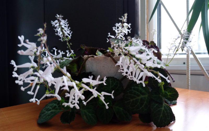 Цветок домашним белым бутоном