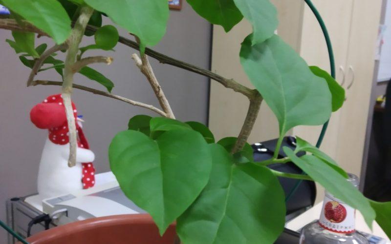 Растение с плетущимися стебельками