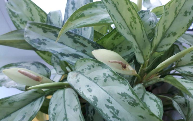 Зеленобелые листья и белый цветок