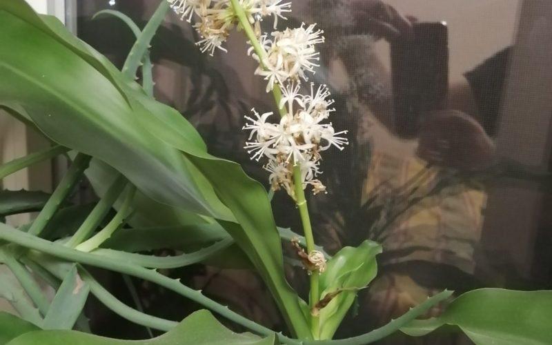 Растение с сильнопахнущими белыми цветам