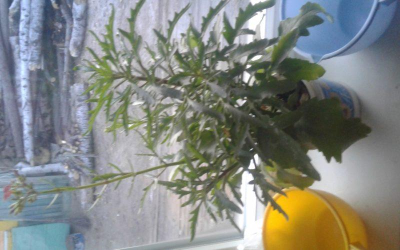 Зелёное растениес розовыми чветами