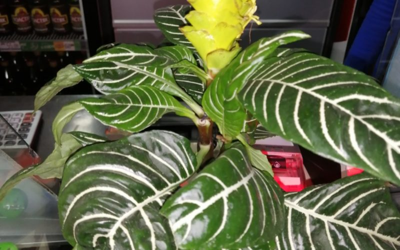Зелёное растение с жёлтым цветоюком