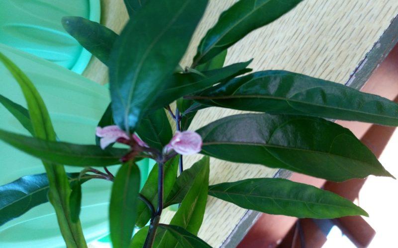 Растение с зелеными ланцетными листьями
