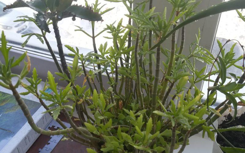 Комнатное растение. Помогите определить