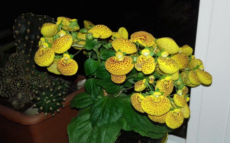 Однолетнее растение с желтыми в крапинку цветами