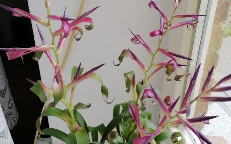 Растение с зелено- фиолетовым листьями.