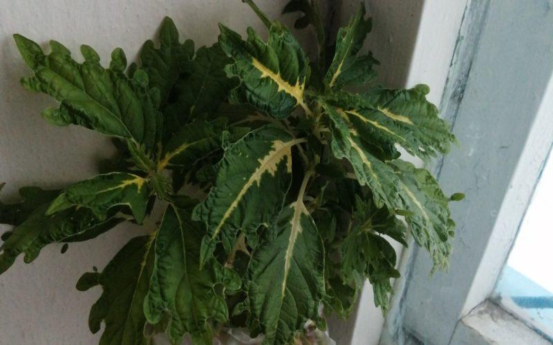 Зелёное растение с жёлтыми прожилками