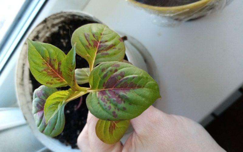 Зелёное растение с фиолетовым пятнами на листьях