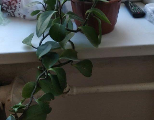 Зеленое вьющееся растение