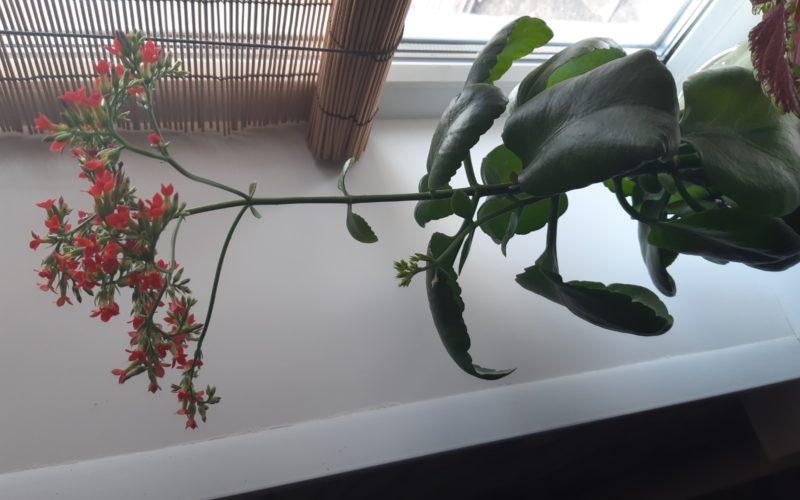 Зеленое комнатное растение с красненькими мелкими цветами