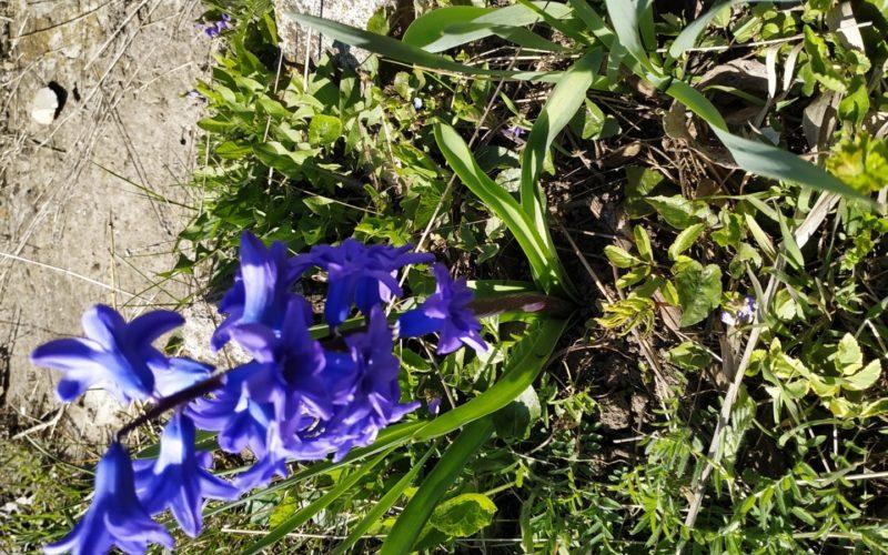 Зелёное растение с синими цветами