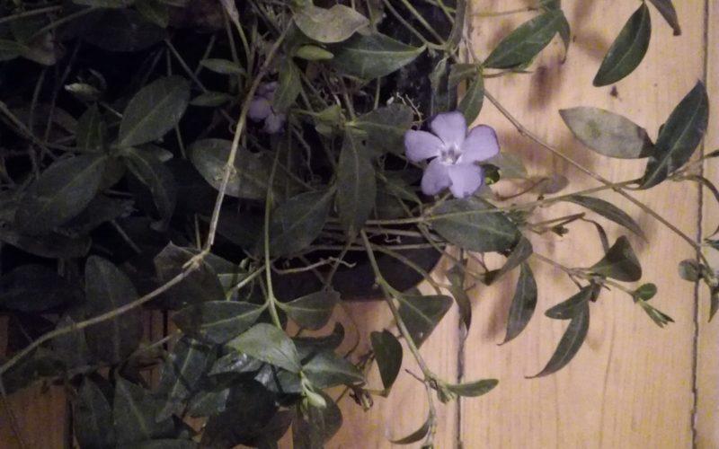 Плетущееся растение с фиолетовыми цветами