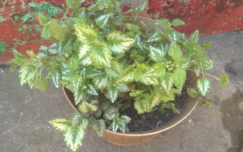 зленое растение с желтыми цветами
