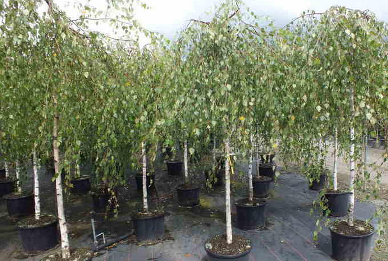 Береза повислая (Betula pendula) — полезные и лечебные свойства