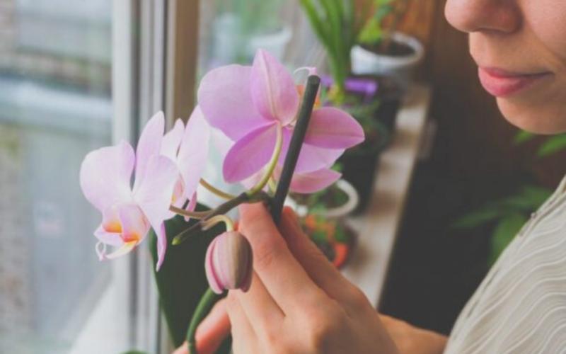 Болезни орхидей Фаленопсис и их лечение, что делать с вредителями, липкими и вялыми листьями, пятнами