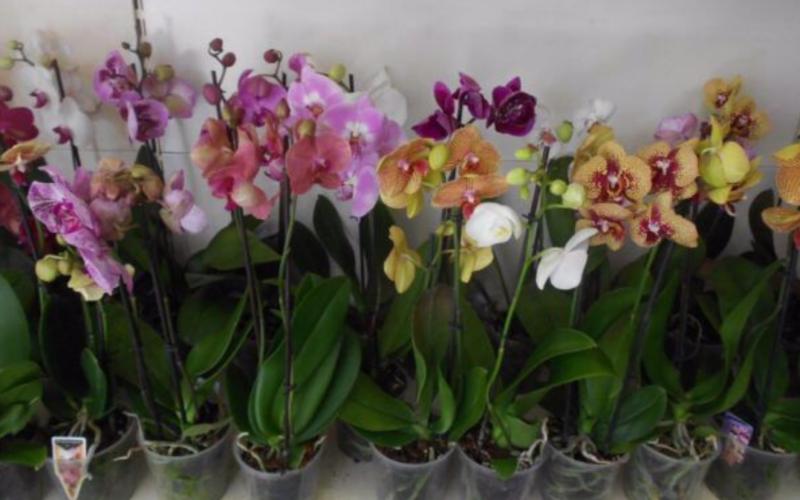Вредители орхидей и методы борьбы с ними, дополнительная профилактика здоровых растений