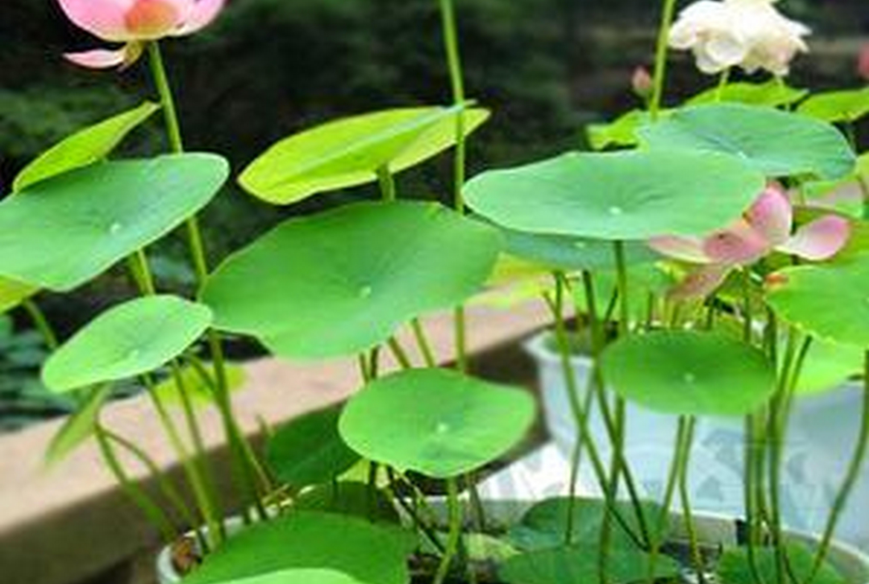 Выращивание лотоса из семян в домашних условиях и уход за ним