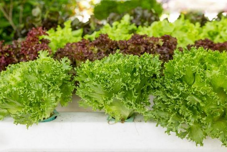 Выращивание салата на подоконнике и балконе: способ для новичков
